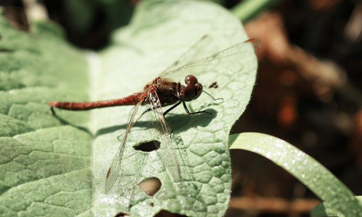 Sameček vážky obecné/rudé/žíhané/čijavim