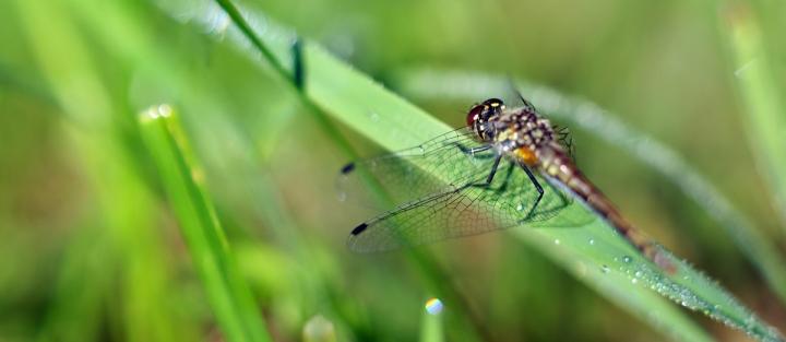 Samička vážky žlutavé
