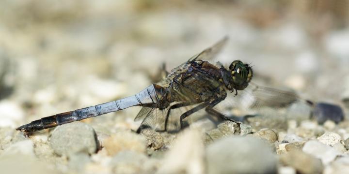6-tifotková koláž samečka vážky černořitné